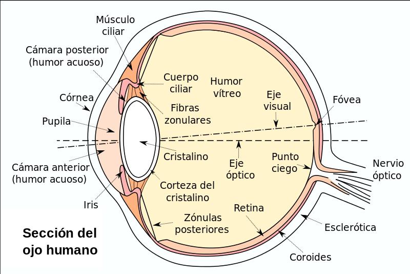 Partes y secciones del ojo en el proceso de la visión (vitreo, retina y macula)